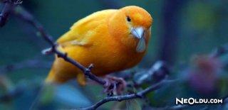 En İyi Kanarya Kuşu Yemleri