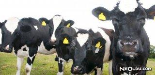 Hayvanlarda Şap Hastalığı Nedir? Belirtileri ve Tedavisi Nedir?