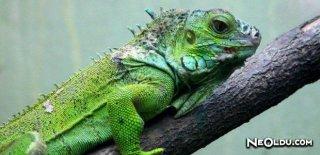Rüyada İguana Görmek Ne Anlama Gelir?