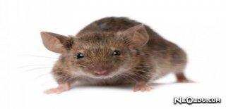 Rüyada Sıçan Görmek Ne Anlama Gelir?