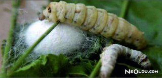 Rüyada İpek Böceği Görmek Ne Anlama Gelir?