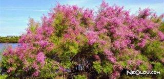 Rüyada Ilgın Ağacı Görmek Ne Anlama Gelir?