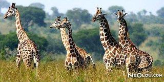 Rüyada Zürafa Görmek Ne Anlama Gelir?