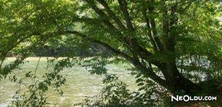 Rüyada Gürgen Ağacı Görmek Ne Anlama Gelir?