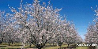 Rüyada Badem Ağacı Görmek Ne Anlama Gelir?