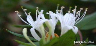 Rüyada Hanımeli Çiçeği Görmek Ne Anlama Gelir?