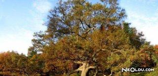 Rüyada Meşe Ağacı Görmek Ne Anlama Gelir?