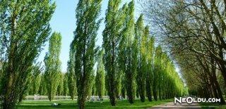 Rüyada Kavak Ağacı Görmek Ne Anlama Gelir?