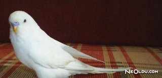 Rüyada Beyaz Muhabbet Kuşu Görmek Ne Anlama Gelir?
