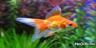Rüyada Süs Balığı Görmek Ne Anlama Gelir?