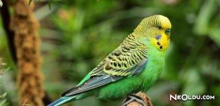 Rüyada Muhabbet Kuşu Sesi Duymak Ne Anlama Gelir?
