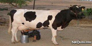 Rüyada Süt Sağmak Ne Anlama Gelir?