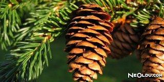 Rüyada Ladin Ağacı Görmek Ne Anlama Gelir?