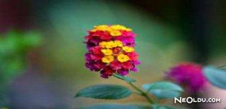 Rüyada Mensur Çiçeği Görmek Ne Anlama Gelir?