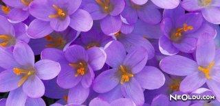 Rüyada Mor Çiçek Görmek Ne Anlama Gelir?