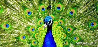 Falda Tavus Kuşu Görmek Ne Anlama Gelir