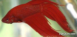 Rüyada Kırmızı Balık Görmek Ne Anlama Gelir?