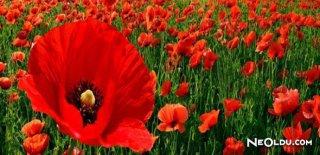 Rüyada Kırmızı Çiçek Görmek Ne Anlama Gelir?