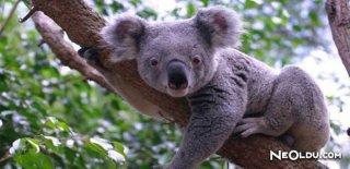 Rüyada Koala Görmek Ne Anlama Gelir?