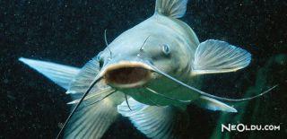 Falda Kedi Balığı Görmek Ne Anlama Gelir