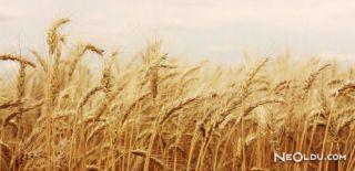 Falda Buğday Başağı Görmek Ne Anlama Gelir