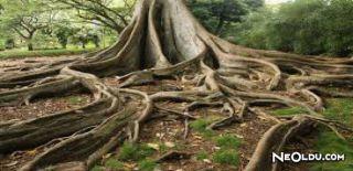 Falda Ağaç Kökü Görmek Ne Anlama Gelir