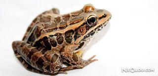 Falda Kurbağa Görmek Ne Anlama Gelir