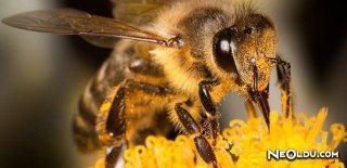 Arılar Neden Vızıldar