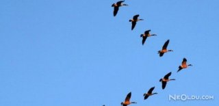 Kuşlar Neden Sürü Halinde ''V'' Şeklinde Uçar