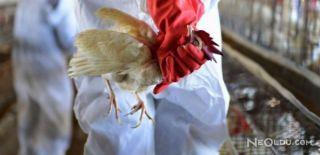 Reşadiye'de Kuş Gribi Virüsü Bulundu
