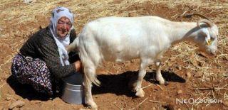 Keçi Sütü Farkı