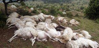 Balıkesir'de 73 Koyun Telef Oldu