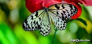 Kelebeklerin Ömrü 1 Gün Mü?