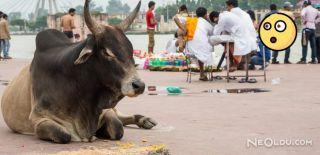 Hindistan'da İneklere Özel Bakanlık Kurulacak