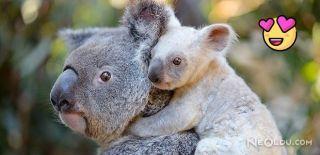 Nadir Rastlanan Beyaz Koalaya İsim Aranıyor