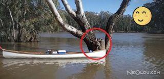 Mahsur Kalan Koala Kurtarıldı