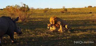Kaba Gergedan Aslanların Sevişmesini Mahvetti