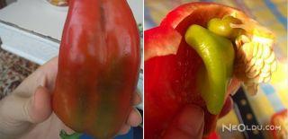 Hayret Verici! Kırmızı Biberden Yeşil Biber Çıktı