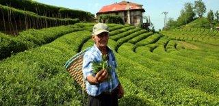 Beyaz Çayın Kilosu 4 Bin 500 TL! Talepleri Karşılamadı