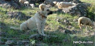 Anadolu Efsanesi: Kangallar