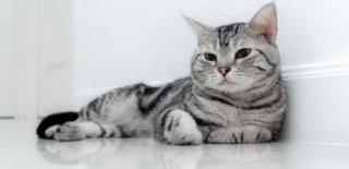 American Shorthair Kedisi Bakımı ve Özellikleri