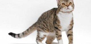 American Wirehair Kedisi Bakımı ve Özellikleri