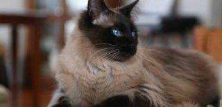 Balinese Kedisi Bakımı ve Özellikleri