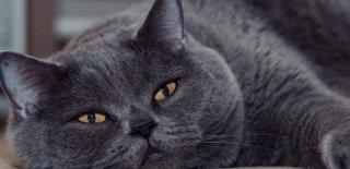 British Shorthair Kedisi Bakımı ve Özellikleri