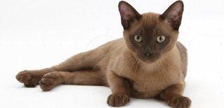 Burmese Kedisi Bakımı ve Özellikleri
