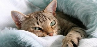 Australian Mist Kedisi Bakımı ve Özellikleri