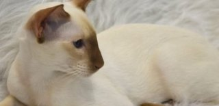 Colorpoint Shorthair Kedisi Bakımı ve Özellikleri