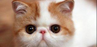 Exotic Shorthair Kedisi Bakımı ve Özellikleri