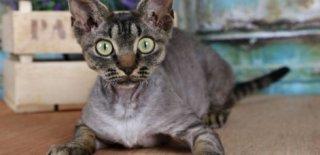 German Rex Kedisi Bakımı ve Özellikleri