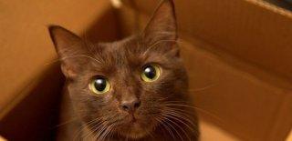 Havana Brown Kedisi Bakımı ve Özellikleri